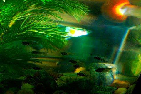 cá 7 màu bao giờ để