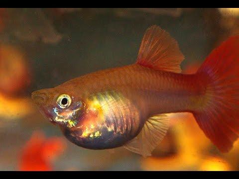 Cá 7 Màu đẻ Như Thế Nào Cách Chăm Sóc Cá 7 Màu Con