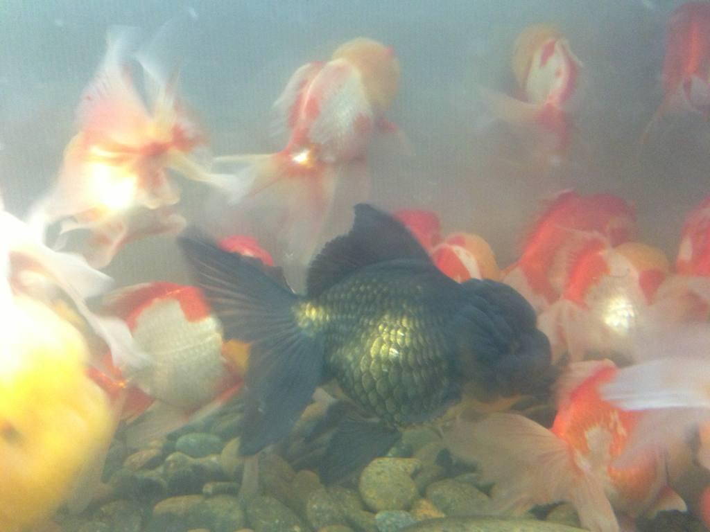 cá đen cá vàng