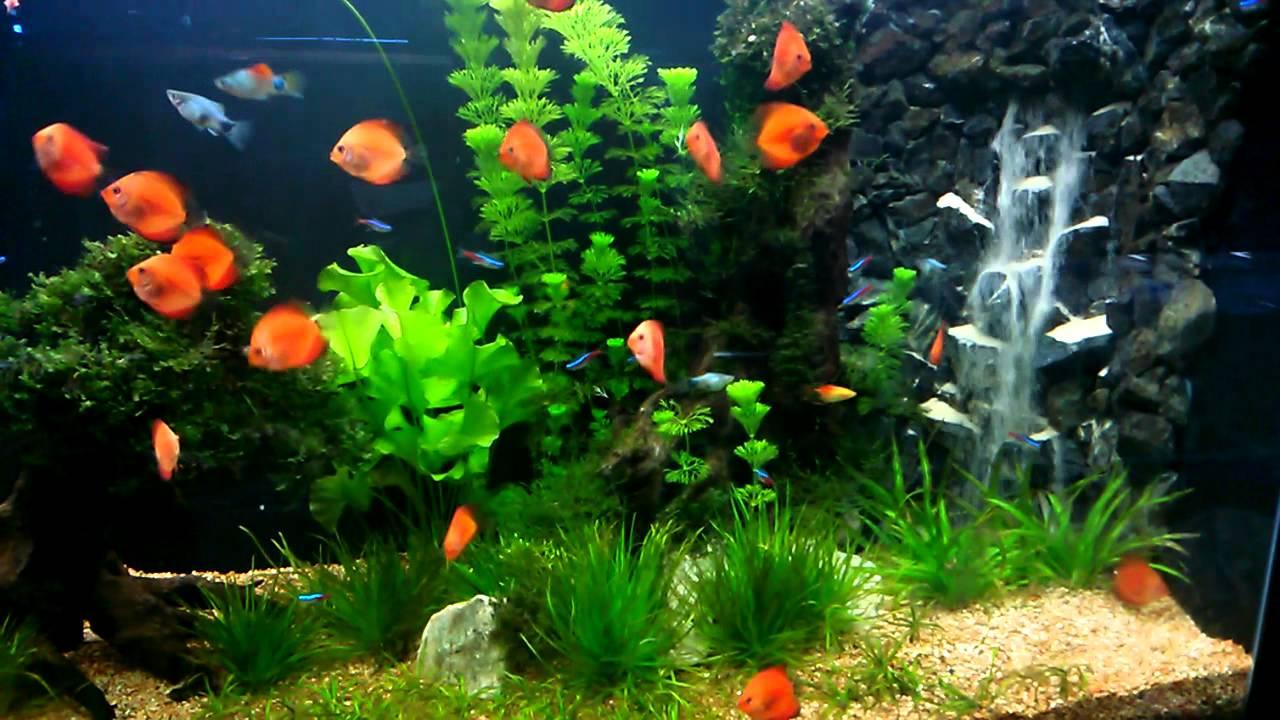 cá dĩa và cách nuôi cá dĩa