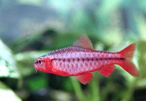 snapper snapper cherry beard fish