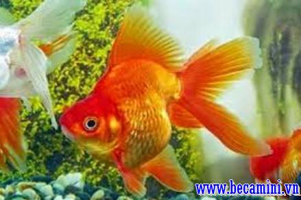 Goldfish 3 tails