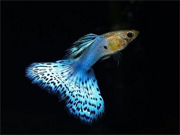 Kỹ Thuật Nuôi Cá 7 Màu Lên Màu đẹp