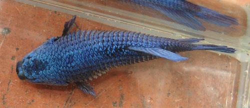 cách trị bệnh sình bụng ở cá betta