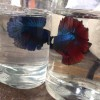 Betta Fish Thu Dau Mot